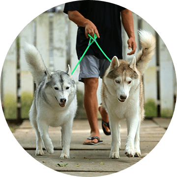 Man walking two white husky dogs on a sidewalk